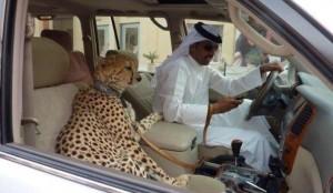 sceicco e leopardo
