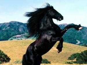 cavallo-frisone